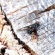 ホシツリアブ ♀