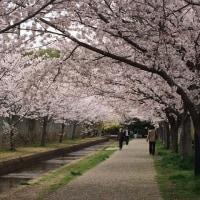 おゆみ野の桜を愛でるたんぽぽ