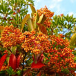 『季節の花』 珊瑚樹