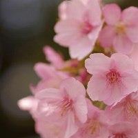 河津桜の満開を撮影@万葉公園