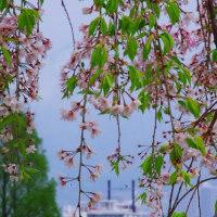 惜春 びわ湖