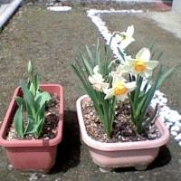 ようよう春到来。