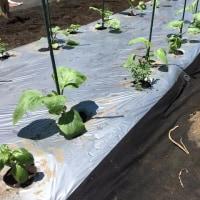 茄子の植え付けと初収穫のズッキーニ