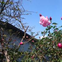 バラの花は4月では?