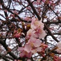 河津桜が咲いていました