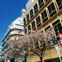 長い間咲いていた桜も散った