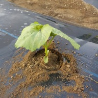 朝飯前のゴーヤ植え