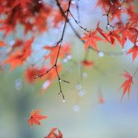 雨の紅葉。。