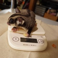 続・ももんず体重測定
