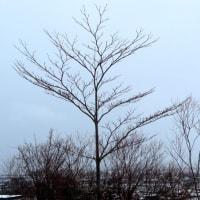 樹木ウォッチング冬から夏へ176ミズキ1