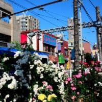 バラと都電/ 都電線路脇のバラ   2017-05-23