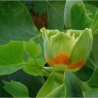 雨ふり後のユリノキの花と銀杏の花。    17・4月27日