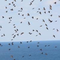 粟島・秋の探鳥行(2016) 島がアトリにつつまれた