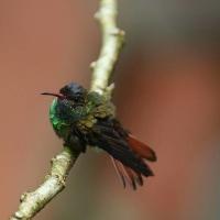 突然の雨にドウイロハチドリ♂は
