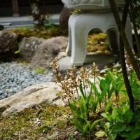 永澤寺の牡丹 そして 松隣寺の石楠花
