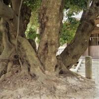 樹齢1000年の大椎