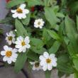 昨日のことです(咲いたばかりのカサブランカと・・・♪)