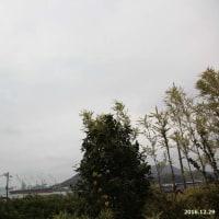 寒空に椿が一輪咲いてた~! 2016.12.29