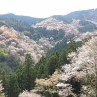 ♪♪ 吉野の桜=ピンクのブロッコリー