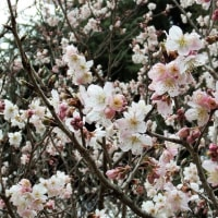 啓翁桜5部咲き