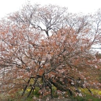 扇子ケースと桜とか色々