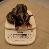 ももんず体重測定