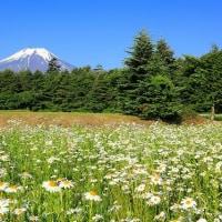 富士山とフランスギク