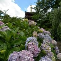 2016 本土寺の紫陽花