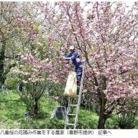 今日以降使えるダジャレ『2180』【社会】■秦野名産「桜漬け」ピンチ…食用桜の摘み手不足
