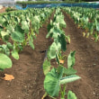 ジャガイモ収穫 最終