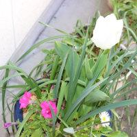 ペチュニア開花