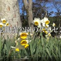 慈眼寺公園の「ふるさと考古歴史館」に植えて有るスイセン