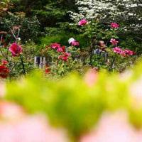 赤坂のお茶屋屋敷跡のボタン園と・・・