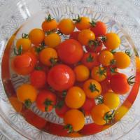 完熟トマトの収穫が始まりました。