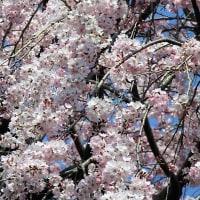 「今年、はじめての満開の桜を見つけました!」