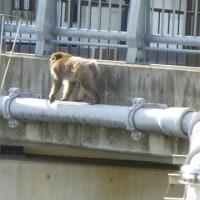 サルがまた裏山から降りてきたー!!!