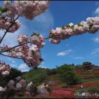 椎八重公園のツツジ~八重桜とマンサクも彩り添える