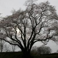 鉢形城公園の桜が満開..
