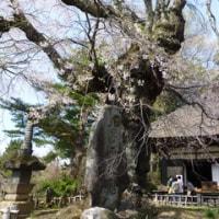 富士見町の桜