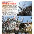 花巡り 「桜-その403」 幸手市香日向界隈