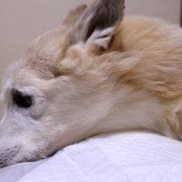 愛犬まるの飼主の祈り