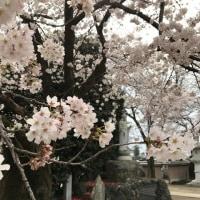 桜だより 2017 満開!