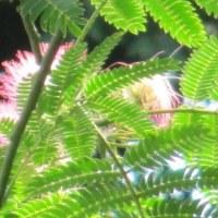 ネムノキ(合歓木)