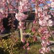 嵐山の桜が開花しました!