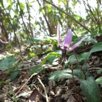 鶴岡高館山の早春の花 7-5 カタクリ、ショウジョウバカマ