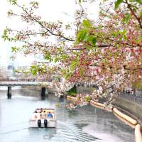 大岡川の桜 2017 その3