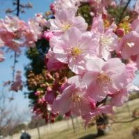 桜\(^o^)/