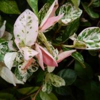 ハツユキカズラの花