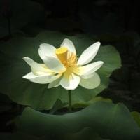 早咲きの蓮華