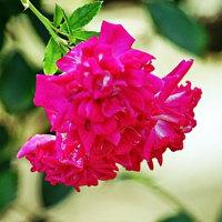 スーパー エクセルサ   ポンポン咲きのバラ